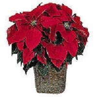 Poinsettia - Plant